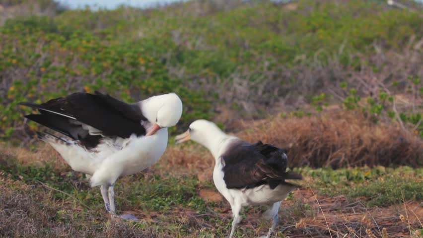 Two albatrosses playing with each other. Se birds behavior in natural habitat #23817673