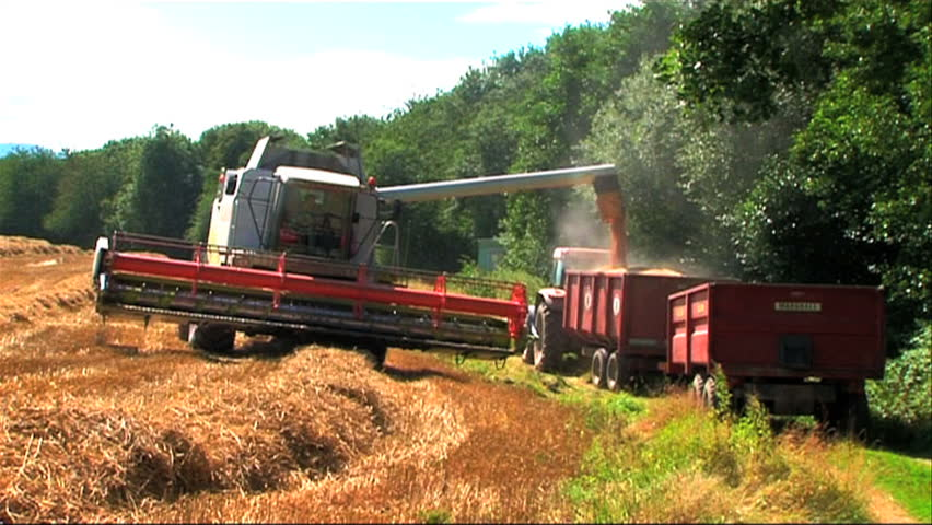 Ripened wheat being gathered by combine harvester - HD stock footage clip