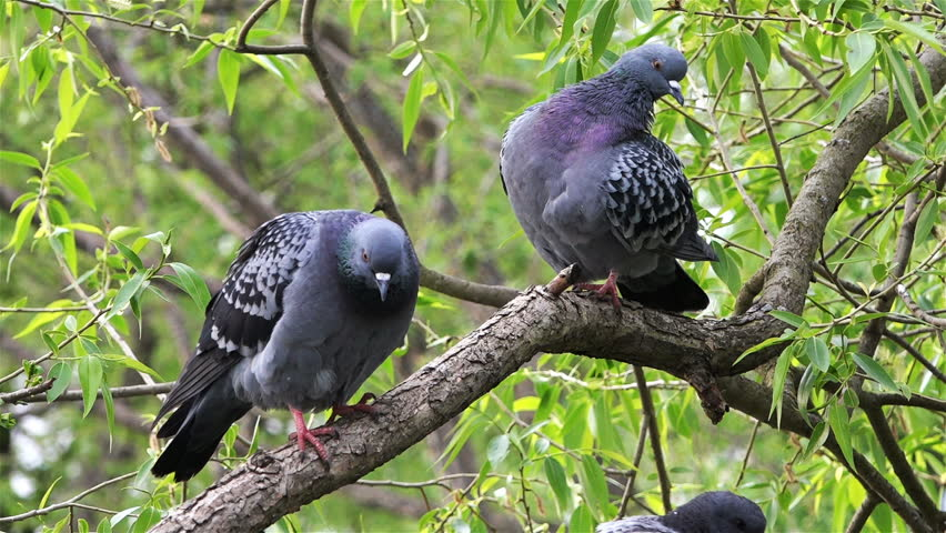 Two doves on a tree branch under green foliage wash and clean their feathers | Shutterstock HD Video #23938768