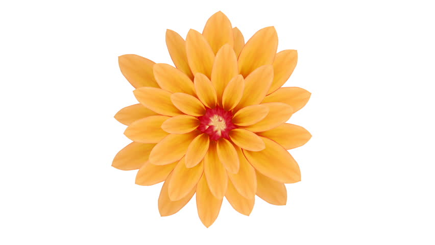 Growing yellow gerbera flower. Motion design illustration, photo-realistic. Isolated on white #23941837