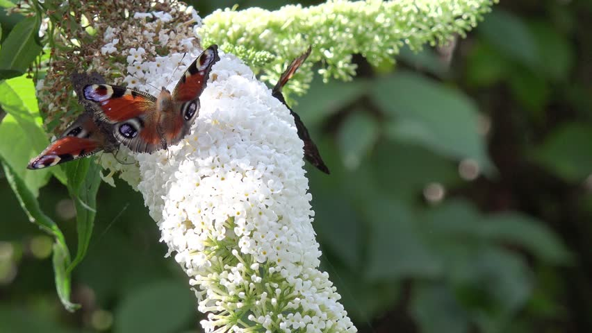 Butterfly on white Flower in the nature  | Shutterstock HD Video #24042367
