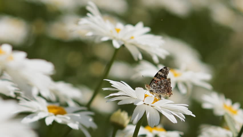 The butterfly flies from flower to flower. Shifting focus from the near object to the far. | Shutterstock HD Video #24130504