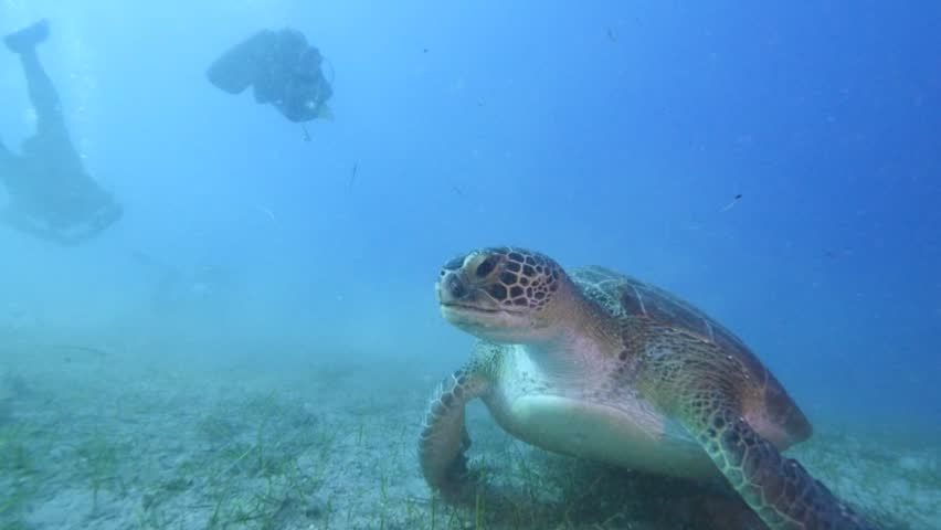 Turtle swimming with divers underwater. green sea turtle (Chelonia mydas) swimming caretta  | Shutterstock HD Video #24158602