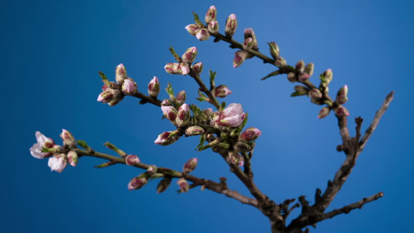 Almond blossom spring background. | Shutterstock HD Video #24162733