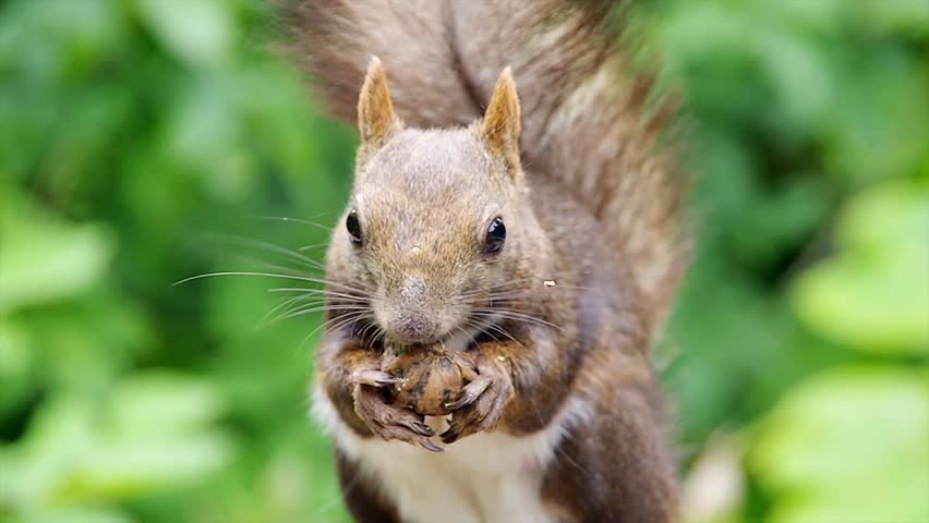 Hokkaido Squirrel Eating Walnut Stock Footage Video ...
