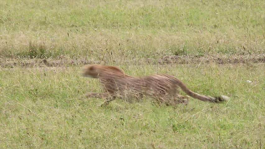 A Cheetah (Acinonyx jubatus) gives chase and successfully kills its prey--a Thomson's Gazelle--in the Masai Mara, Kenya, Africa.
