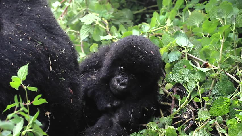 One of the most endangered animals, the Mountain Gorilla. These are the ONLY twin babies in the world! In the wilds of the Virunga Mountains, Rwanda. Part of the Susa Group, studied by Dian Fossey. - HD stock footage clip