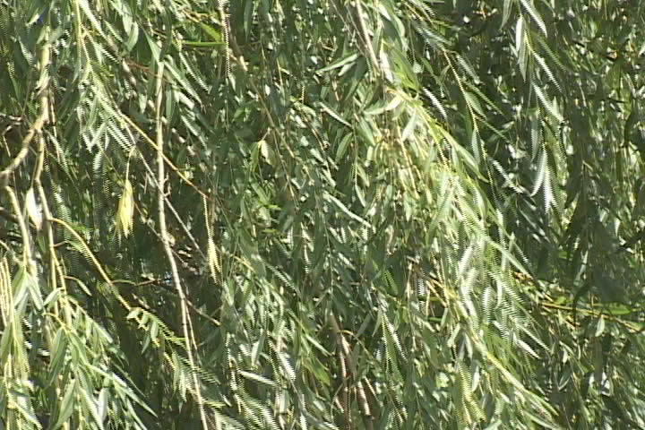 Closeup of a willow tree blowing in the wind - SD stock footage clip