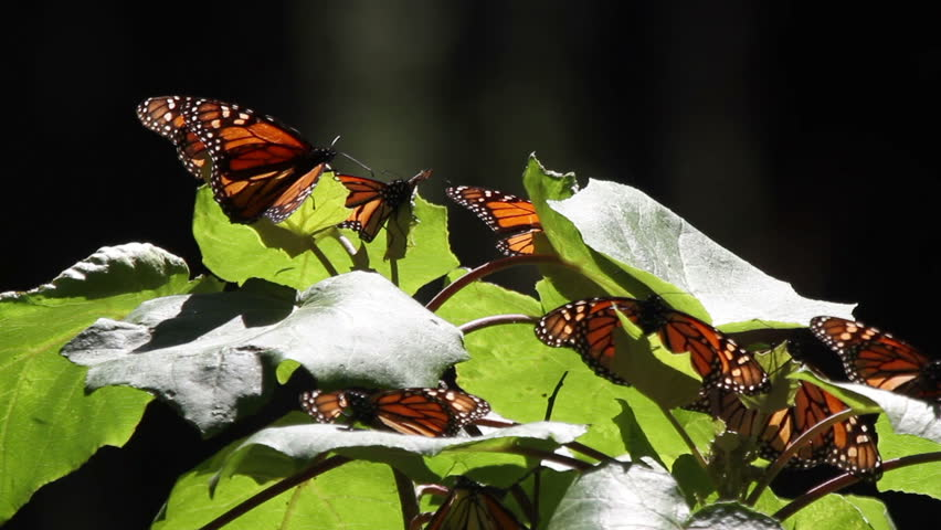the amazing monarch butterfly sanctuary in mexico, where millions of butterflies return to each year from the USA and canada - HD stock video clip