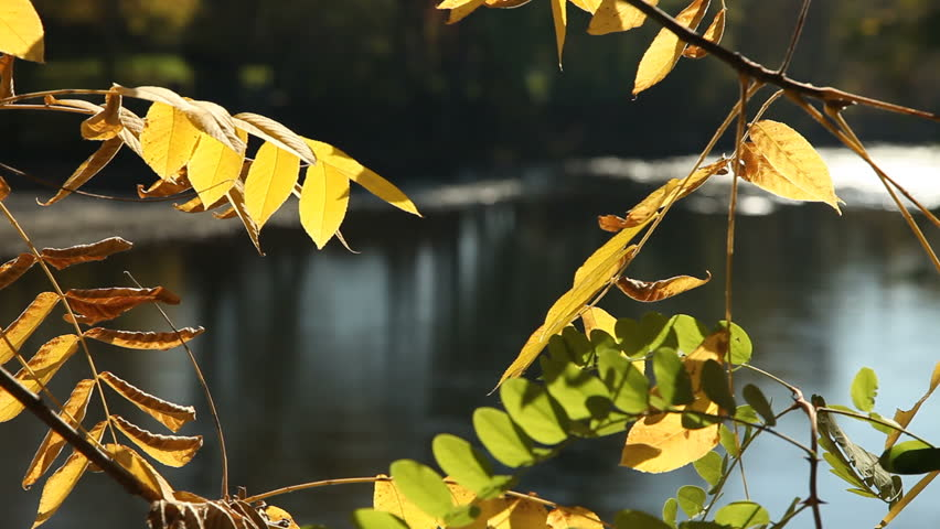 Reflected light from the water of the Boise River shines on yellow autumn leaves. - HD stock video clip