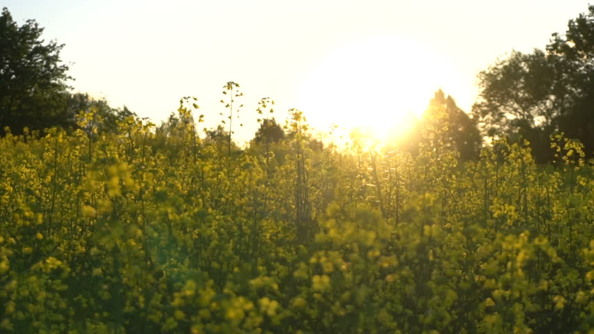 Flowering rapeseed field in the spring at sunset. Slow motion | Shutterstock HD Video #27027721