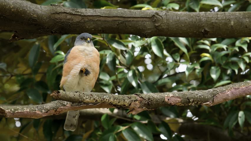 Header of Accipiter gularis