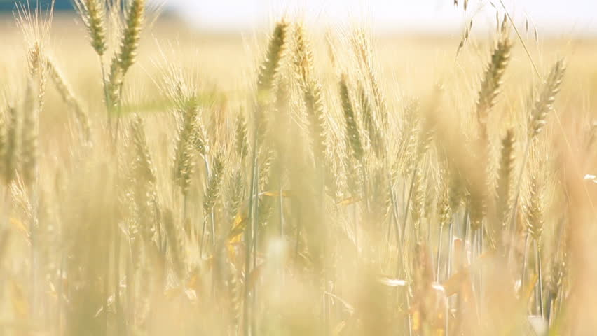 golden field of wheat - HD stock video clip