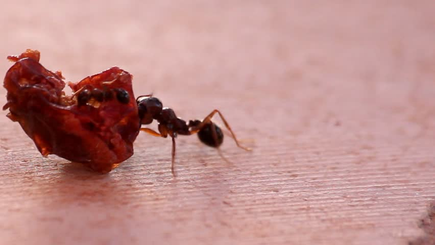 Ant struggling with a piece of sausage - HD stock footage clip