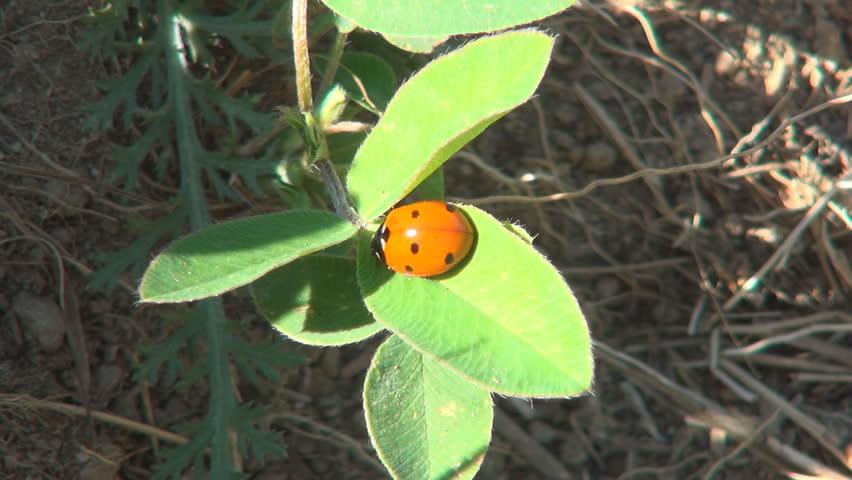 Ladybug - HD stock footage clip