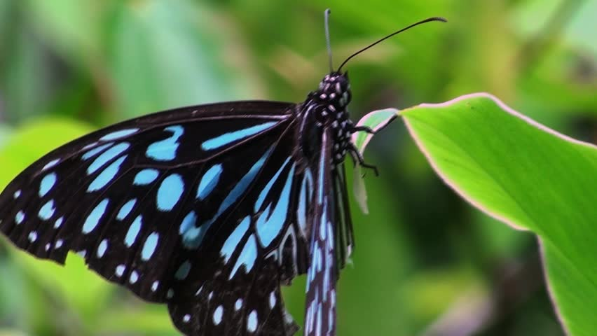 blue and black butterfly tropical australia stock footage