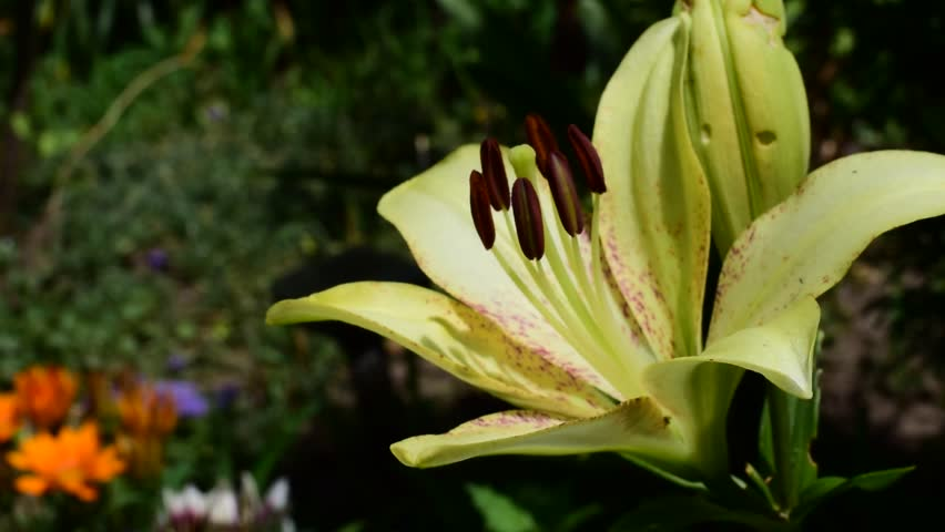 Yellow lily in the wind | Shutterstock HD Video #28158652