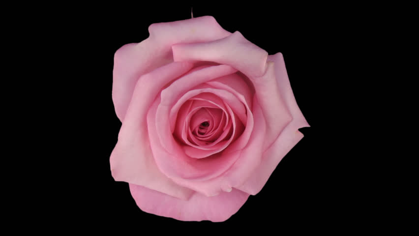 "Time-lapse of dying pink ""Blushing Akito"" rose 7a in PNG+ format with alpha transparency channel isolated on black background, top view. - HD stock footage clip"