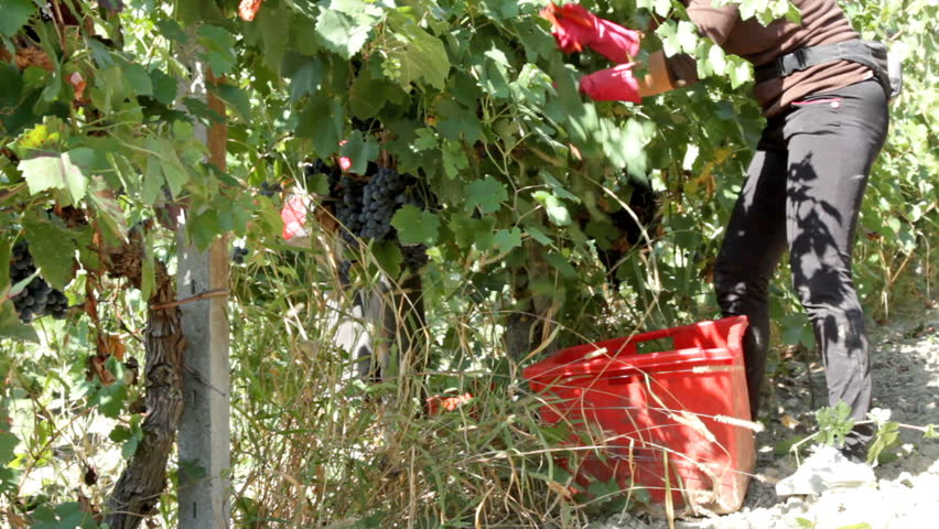 """Vintage wine. Harvesting of """"Croatina"""" or """"Bonarda"""", a red Italian wine grape variety that is grown primarily in the Oltrep Pavese (province of Pavia). - HD stock video clip"""