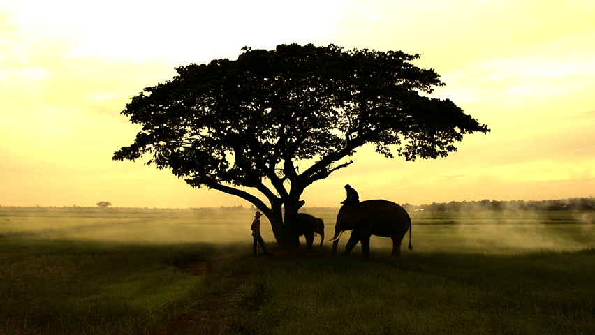 Silhouettes of Asia elephants walking along  in the middle of the field  with big tree in the fog storm and light ray on sunrise. Mahout and the elephant in the morning. | Shutterstock HD Video #28554859