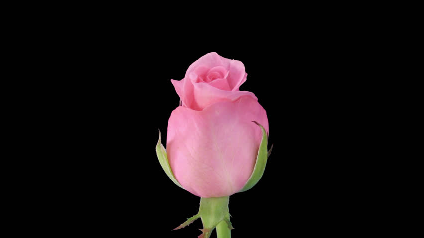 """Time-lapse of opening pink """"Blushing Akito"""" rose 1c in PNG+ format with alpha transparency channel isolated on black background"""