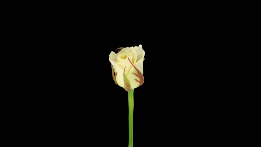 """Time-lapse of opening white """"Escimo"""" rose 1x in PNG+ format with alpha transparency channel isolated on black background."""