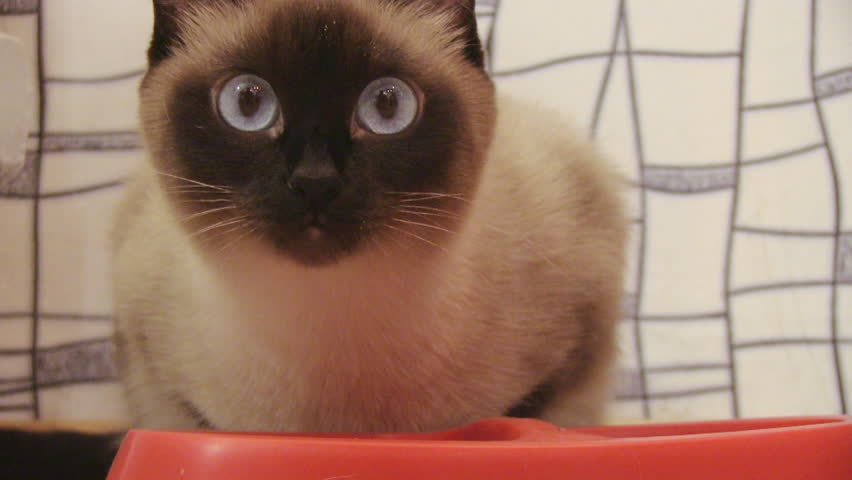 eating siamese cat - HD stock footage clip