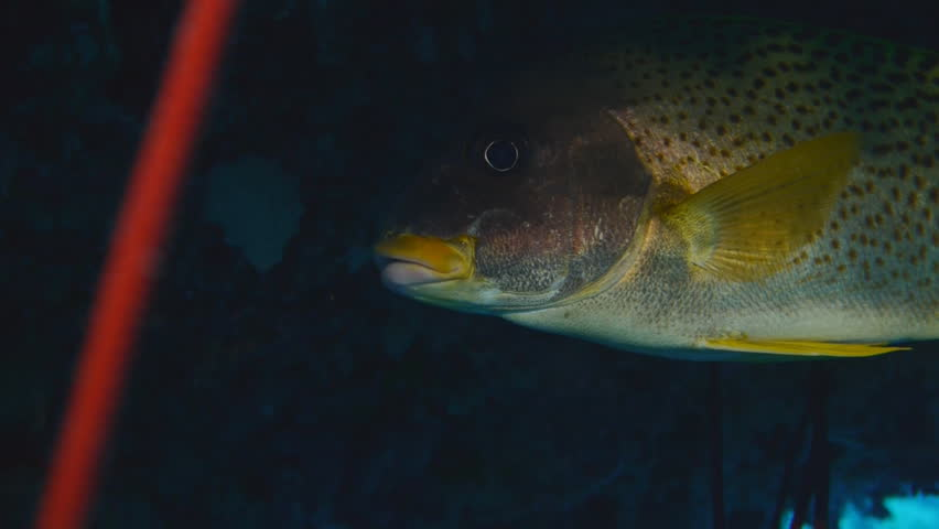 black spotted sweetlip, close, red sea - HD stock video clip