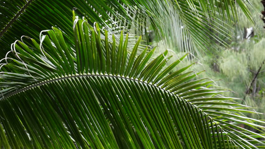 palm tree krone branches - photo #19