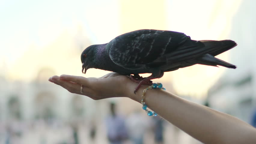 Close-up of woman hand feeding pigeons on San Marco square in Venice, Italy. Slow motion 100 fps   Shutterstock HD Video #29355364