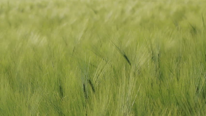 Green grass background. Grass is moving with a heavy wind. With alpha channel. Arkivvideo