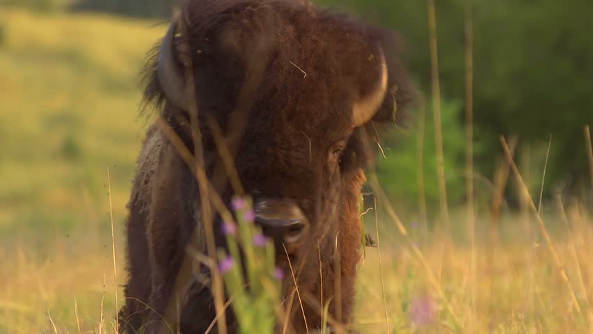 Buffalo Grazing - Slow Motion - A buffalo shakes his head and continues to graze. Slow motion. - HD stock video clip