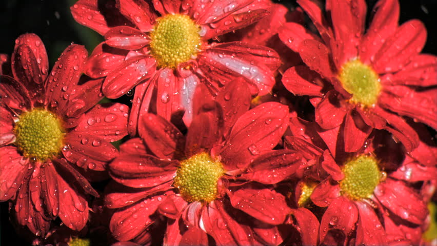 Red daisy flowers in super slow motion receiving water against a black background