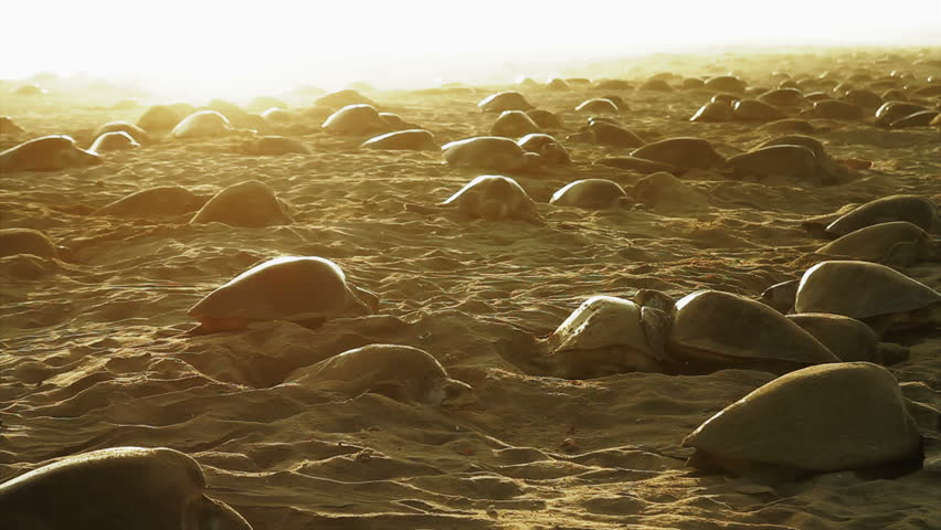 Phenomenon of thousands of sea turtles nesting in one beach of oaxaca at the same time