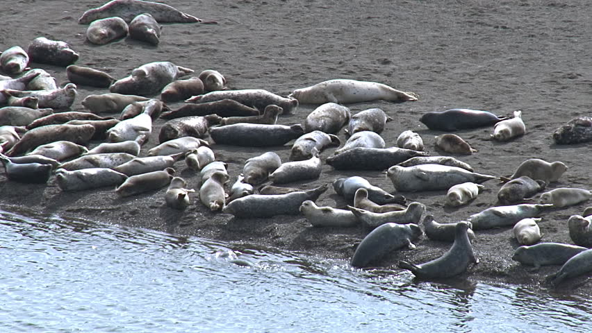 A bunch of harbor seals resting, rollicking, swimming, and humping along at the