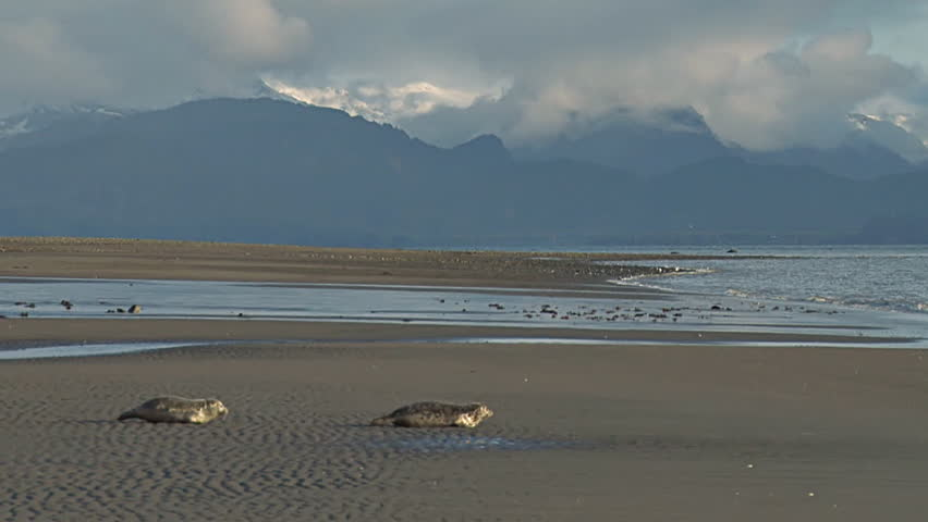 A pair of rehabilitated seals humping their way along scenic Bishop's Beach