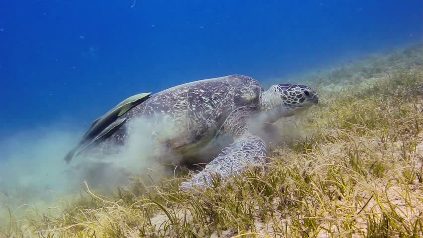 A Green Sea Turtle feeding on sea grass in shallow water - HD stock video clip