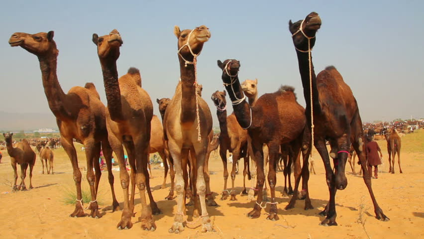 Pushkar Camel Fair - group of camels during festival - HD stock footage clip