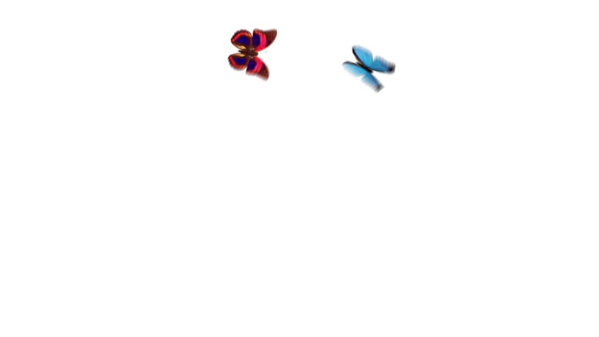 two beautiful butterflies flying around with an alpha channel on a white