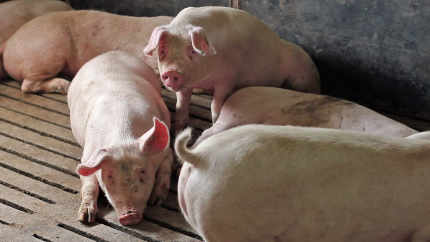 Intensively farmed pigs in batch pens. - HD stock footage clip
