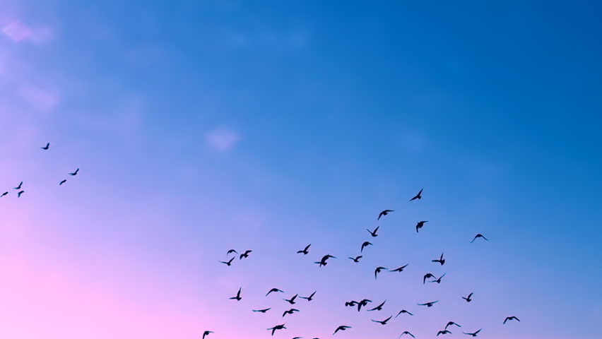 This is a beautiful natural video of Flying Flock Of Birds (Doves) In Magical Blue Sunset Sky...You can use this slow motion video in your original projects or as websites background…Enjoy! - HD stock footage clip