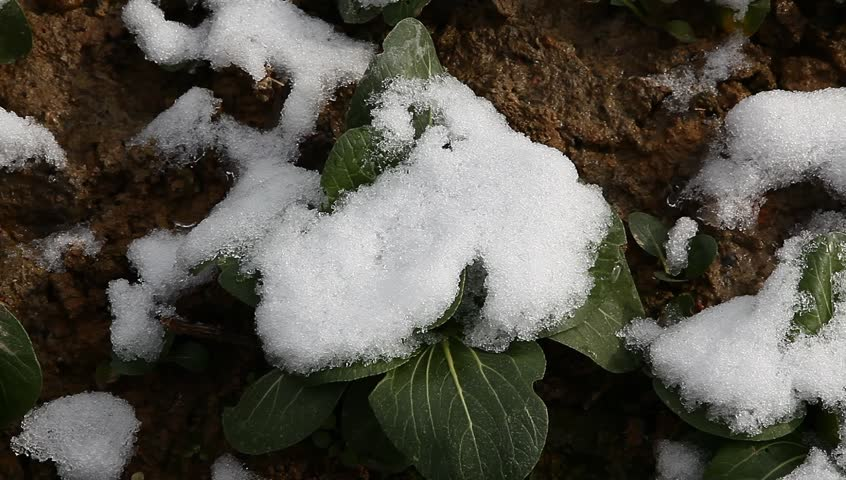 bok choi field after snow