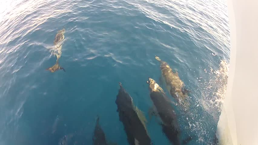 Dolphin joining in from the right, swimming in front of the bow of a ship