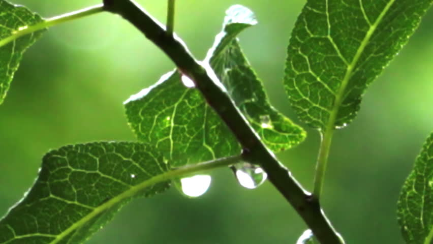 rain drops on green leaves - HD stock video clip