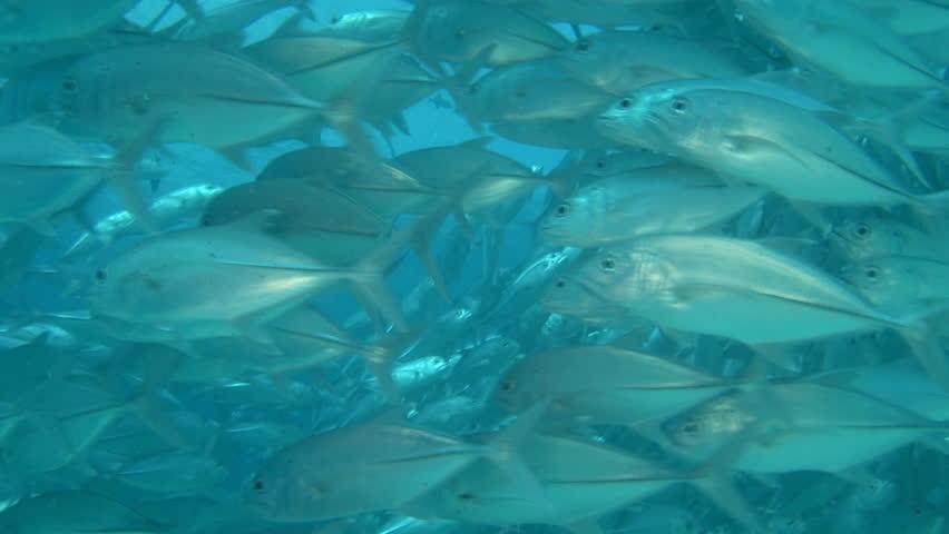 mackerels - HD stock video clip