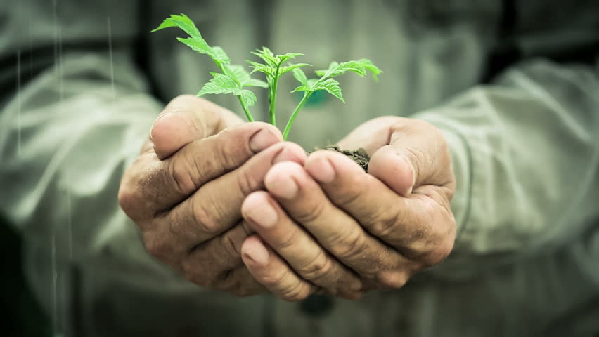 Old man`s hands holding young plant in the rain. Ecology concept