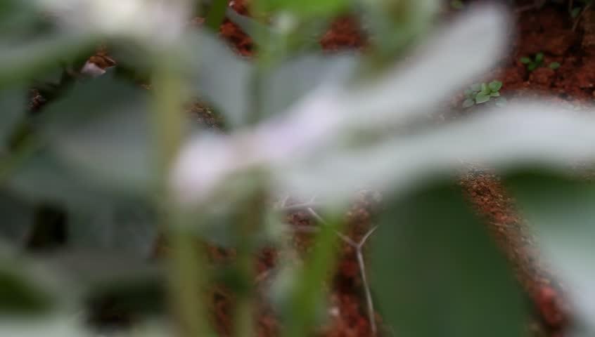 horse bean flower in the spring