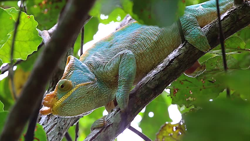 ENDANGERED male Parson's Chameleon (Calumma parsonii) in a tree in Ranomafana, Madagascar. The largest chameleon species in the world. IUCN lists as Near Threatened. Big, beautiful, and colorful. - HD stock footage clip