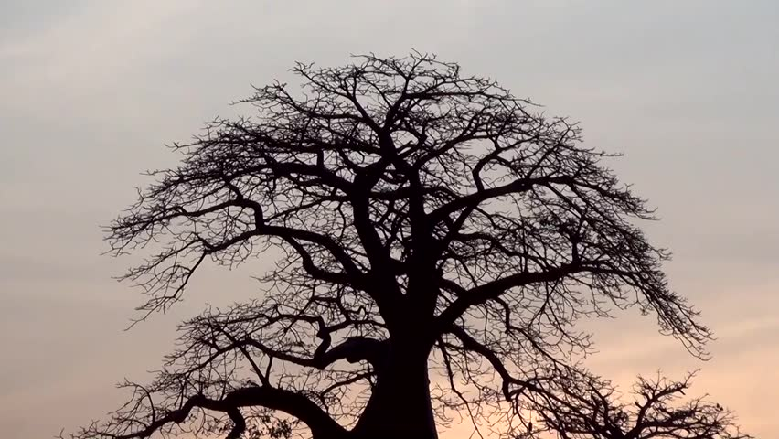 Header of Adansonia Digitata