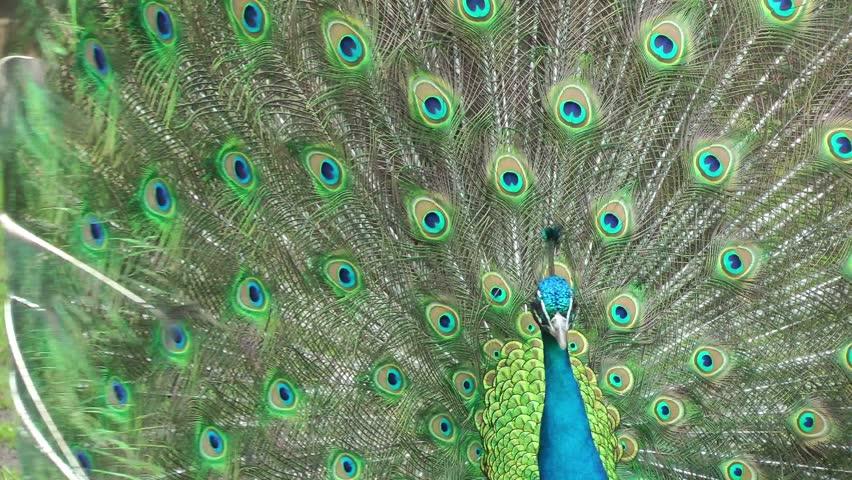 Beautifull peacock close up